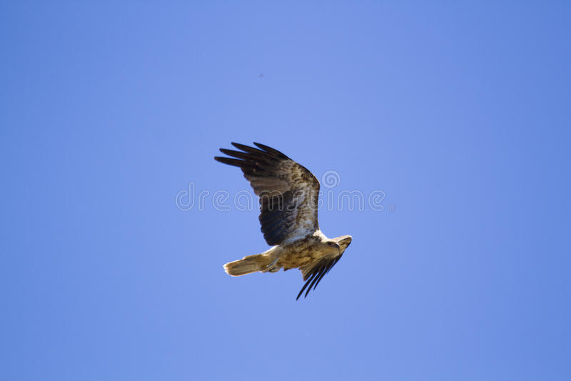 Whistling Kite (Haliastur Sphenurus) royalty free stock photography