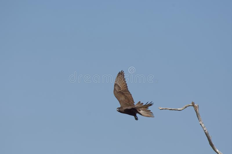 Whistling Kite Launching stock image