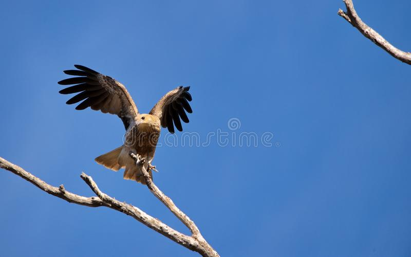 Whistling kite royalty free stock photography