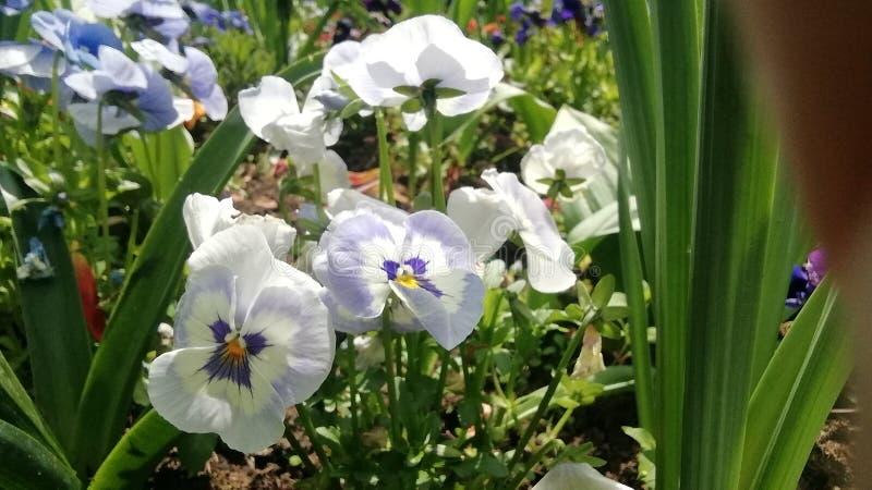 Whit, purpurrote Frühlingsblume in Kaiserslautern stockfoto