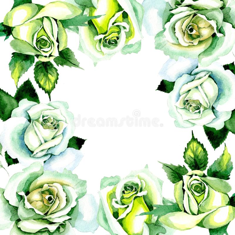 Whit roses. Floral botanical flower. Wild spring leaf wildflower frame. Aquarelle wildflower for background, texture, wrapper pattern, frame or border vector illustration