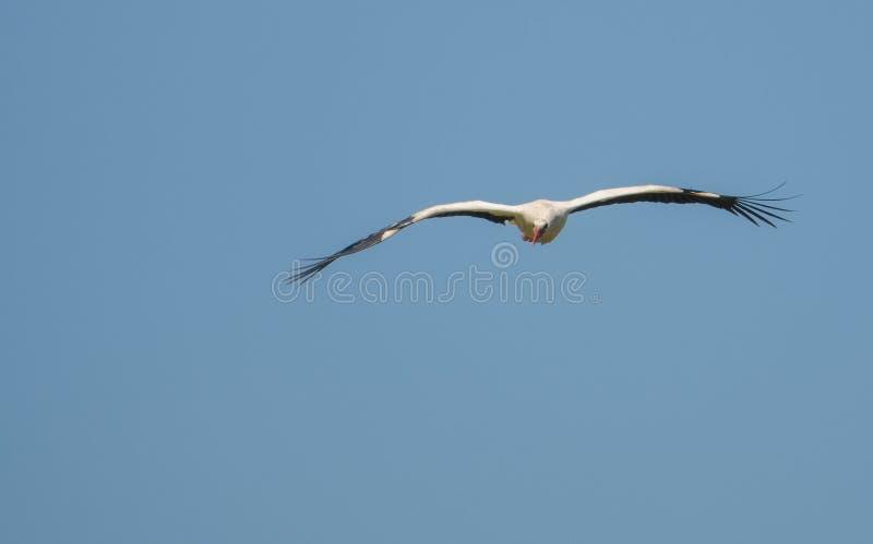 Whit Stork em voo imagens de stock