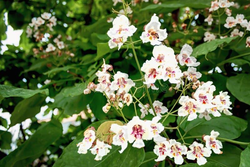 Whit van de boombloem een bij royalty-vrije stock afbeelding