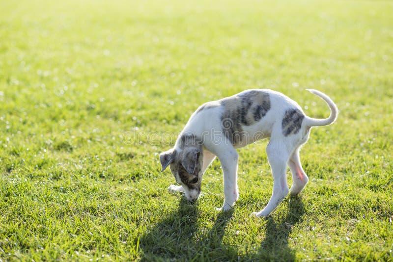 Whitby hund royaltyfria foton