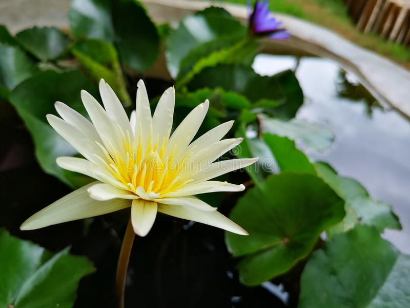White​ and​ purple lotus blooming with ​lotus leaves on the​ pond stock photos