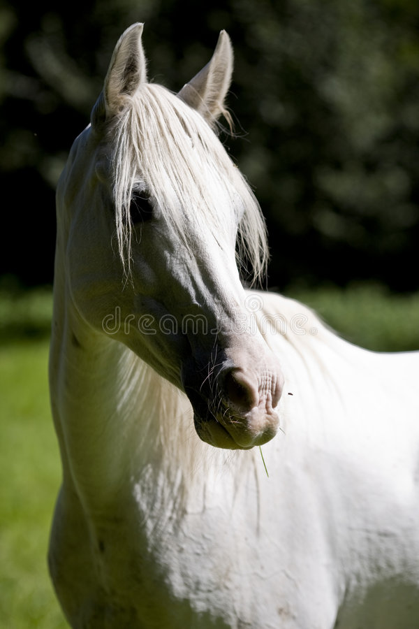 Download White stock image. Image of mammal, tail, riding, criniere - 3014049
