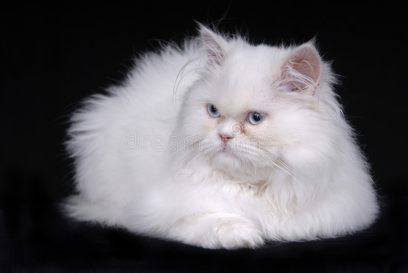 White. Young white kitten isolated on black background royalty free stock photo