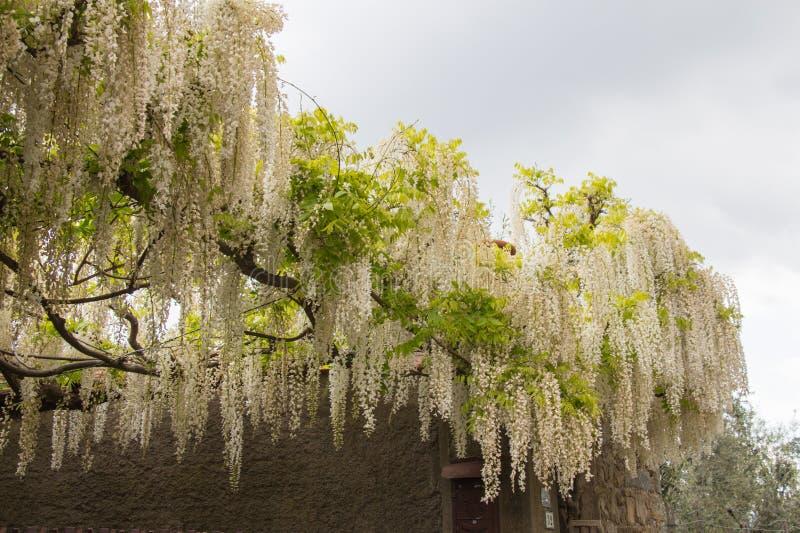 White acacia flowering. Abundant flowering acacia branch in garden royalty free stock images