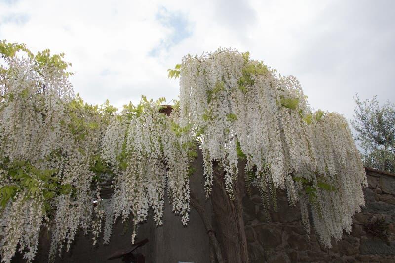 White acacia flowering. Abundant flowering acacia branch in garden stock photos
