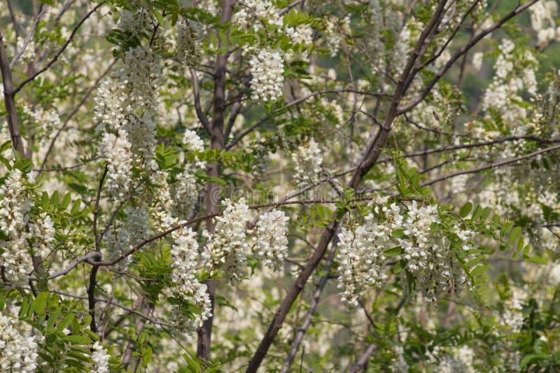 White acacia flowering. Abundant flowering acacia branch of Robinia pseudoacacia royalty free stock photo