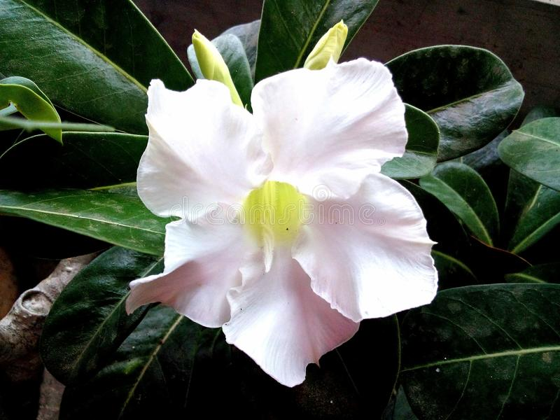 White Adenium Obesum flowers, the Dessert Rose. stock image