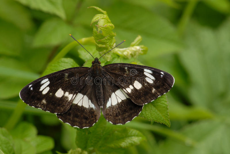 White Admiral butterfly royalty free stock photo
