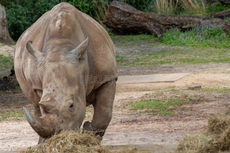 White rhinoceros eating in the wild royalty free stock photo