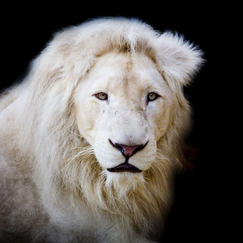 White Africa lion. Beautiful animal wildlife in zoo stock image