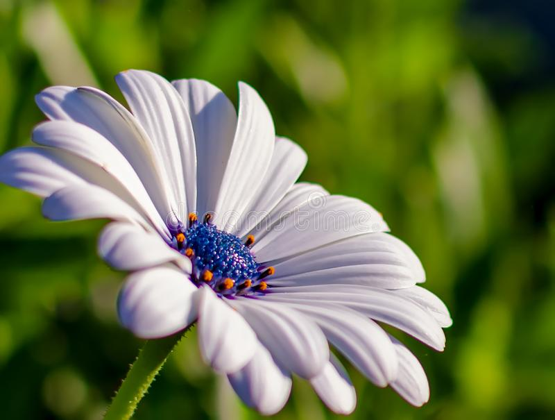 White African daisy or Cape Daisy Osteospermum against natural background, side view. Flower with elegant pure white petals which are offset by deep blue to royalty free stock photo