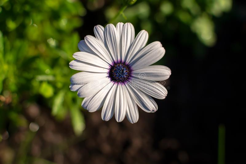 White African daisy or Cape Daisy Osteospermum against natural background, top view. Flower with elegant pure white petals which are offset by deep blue to royalty free stock photography