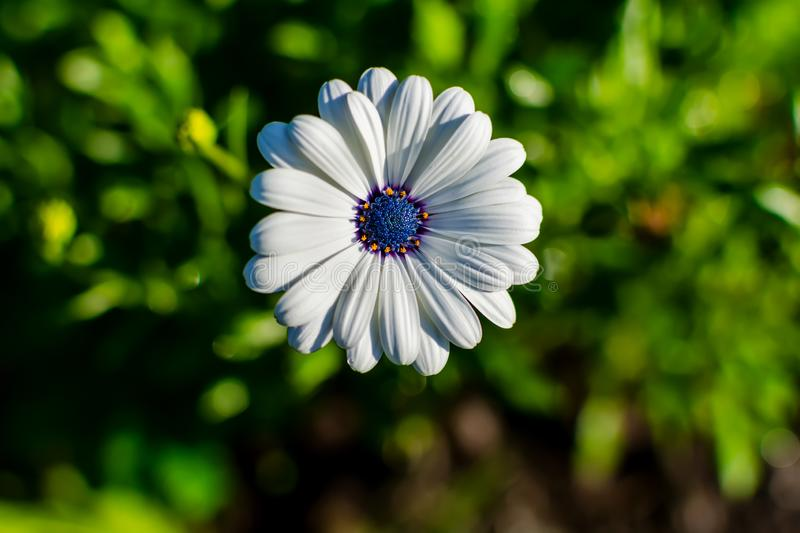 White African daisy or Cape Daisy Osteospermum against natural background, top view. Flower with elegant pure white petals which are offset by deep blue to stock image