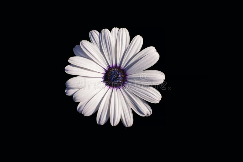 White African daisy or Cape Daisy Osteospermum isolated on black background, top view stock photos