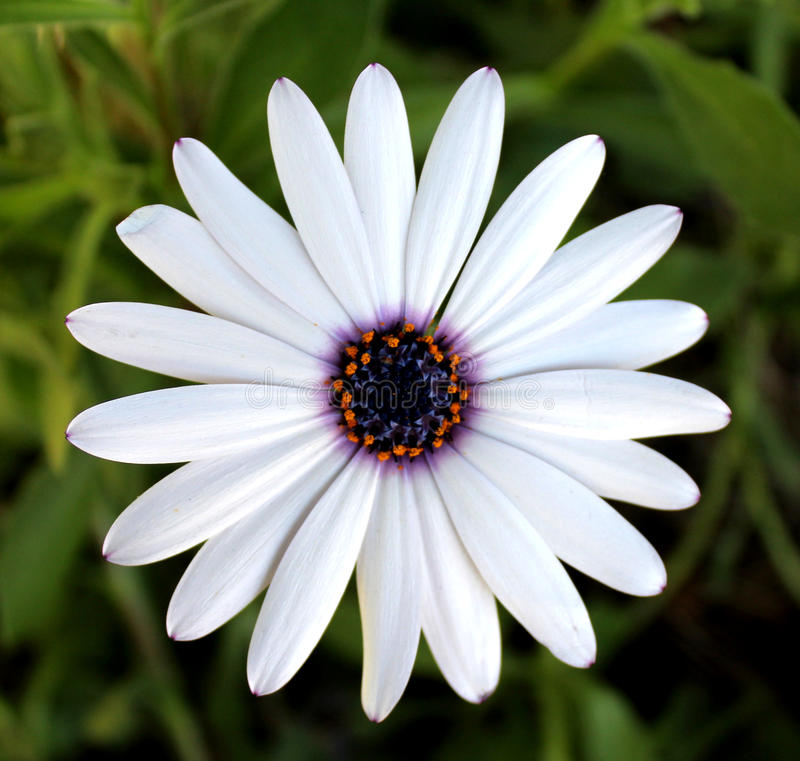 White African Daisy Close Up. White African Daisy Flower Close Up with Purple Center stock photography