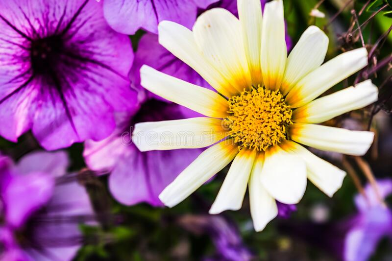White African daisy in a garden surrounded by purple flowers with a blurry background. A white African daisy in a garden surrounded by purple flowers with a stock photography