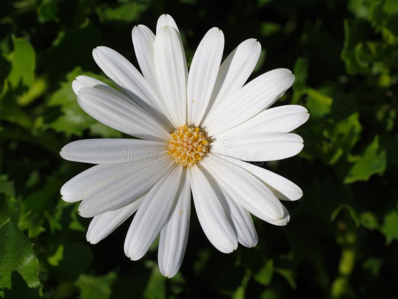 White african daisy. Macro shot of garden and ornamental flowers, back, yard, bloom, leaf, plant, weed, green, area, nature, close-up, pollen, powder, beauty royalty free stock images