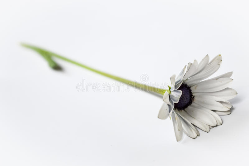 White African Gerber Daisy side royalty free stock image