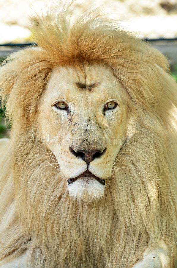 White African lion portrait stock photo