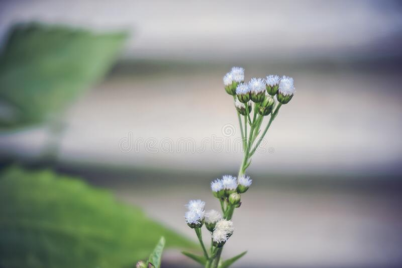 White Ageratum Close Up Photography stock images