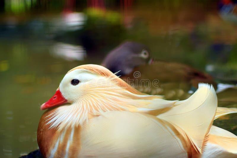 White Aix galericulata beautiful water bird mandarin duck in zoo background. White Aix galericulata beautiful water bird mandarin duck is resting in zoo royalty free stock photos