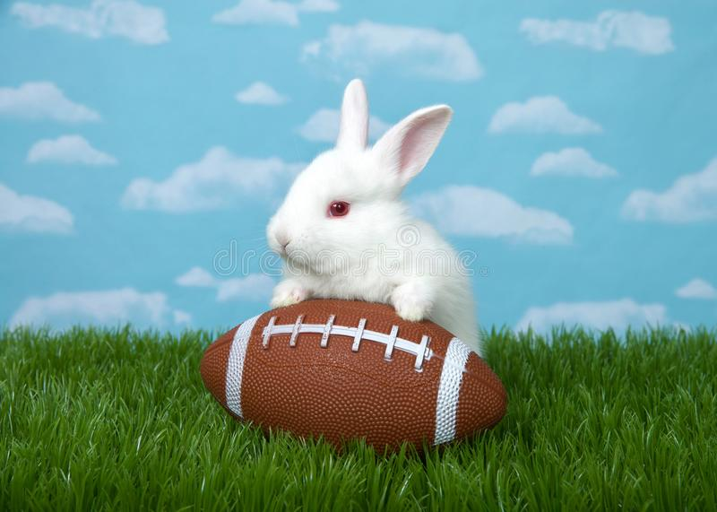 Baby bunny on football in grass. White albino baby bunny rabbit with a American football in green grass with blue sky background clouds royalty free stock images