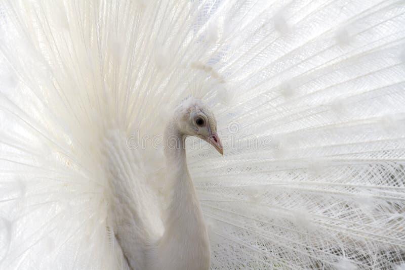 White albino beautiful peacock. Closeup image of bird royalty free stock photo