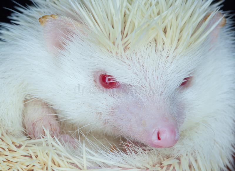 White albino hedgehog with red eyes close-up. Breeding of rare, thoroughbred animals at home royalty free stock image