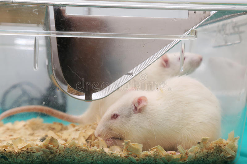 White (albino) laboratory rats. In acrylic cage stock photography