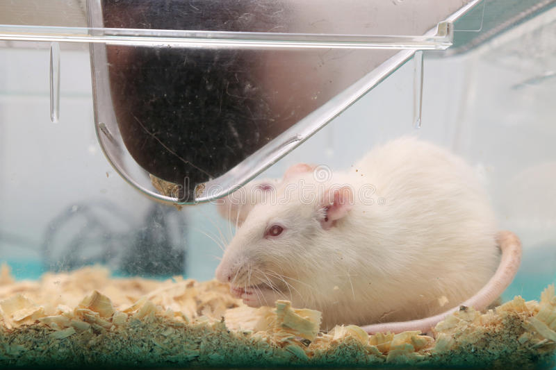 White (albino) laboratory rats. In acrylic cage royalty free stock photos