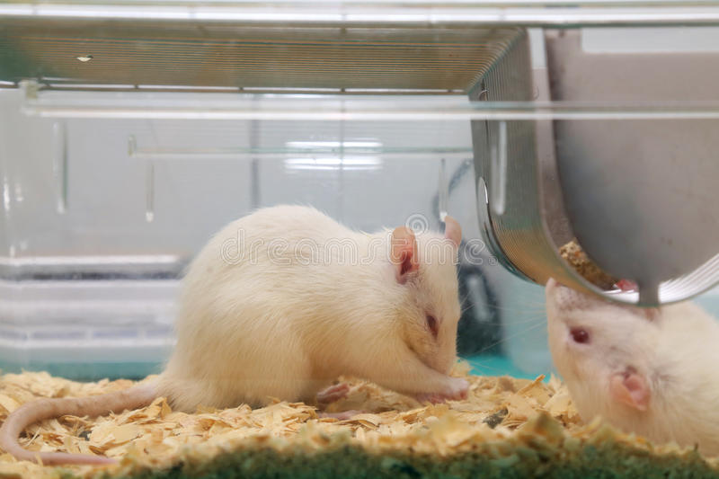 White (albino) laboratory rats eating in cage. White (albino) laboratory rats eating in acrylic cage stock photo