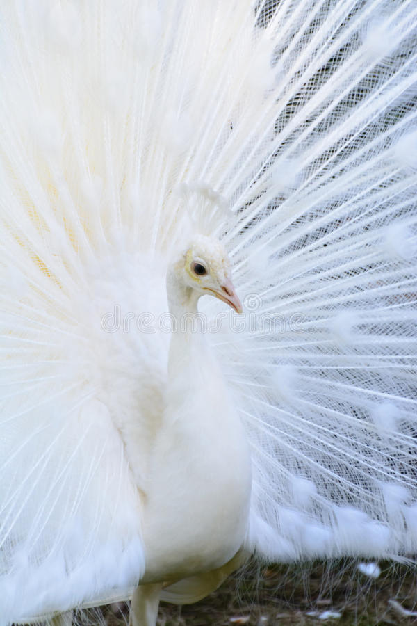 White Albino Peafowl. A white albino peafowl displaying its feathers in courtship manner stock photo