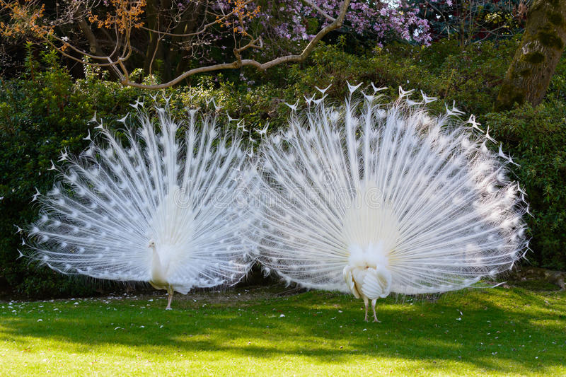 White Albino Peafowl. Two white albino peafowls displaying their feathers in courtship manner stock photo