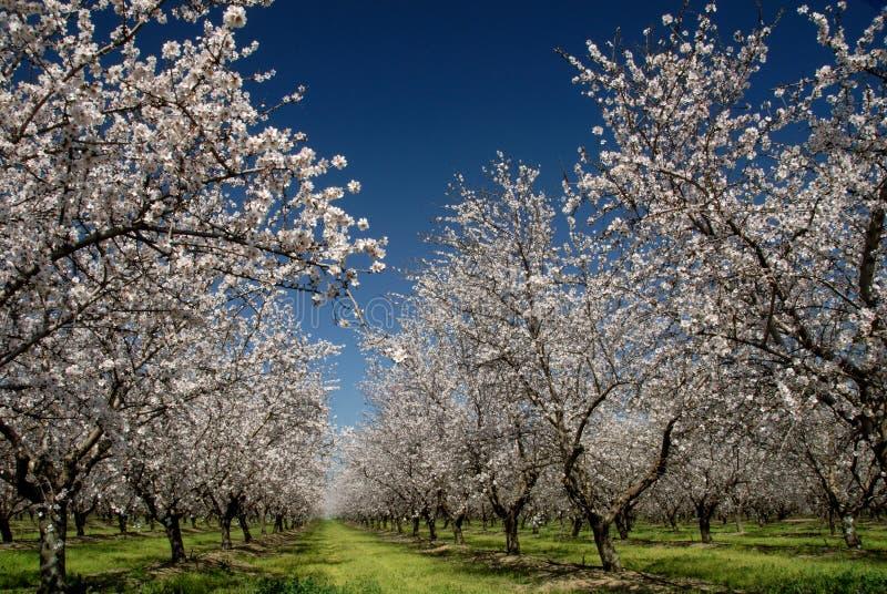 White Almond Blossoms Stock Photos