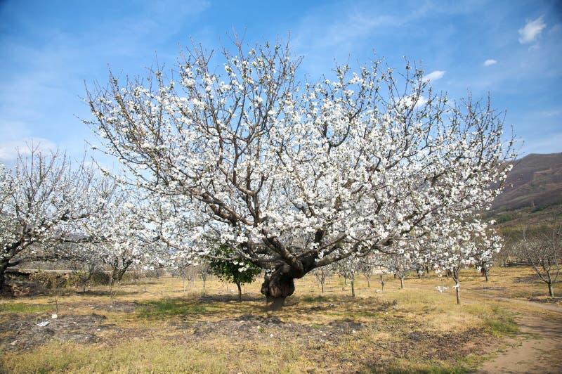 White almond tree stock image