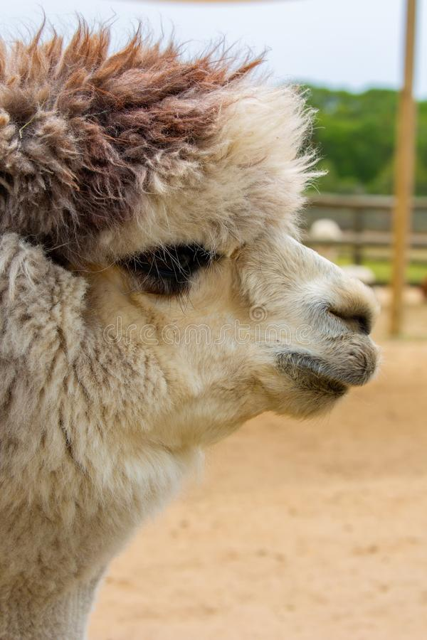 White alpaca with brown on head royalty free stock image
