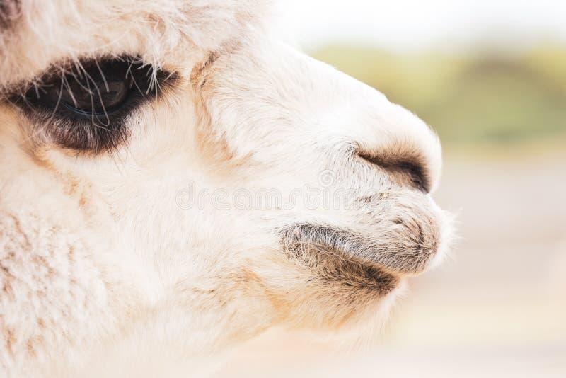 White Alpaca with Dark Eyes. A closeup portrait of a white alpaca`s face with dark black around its eyes stock photos