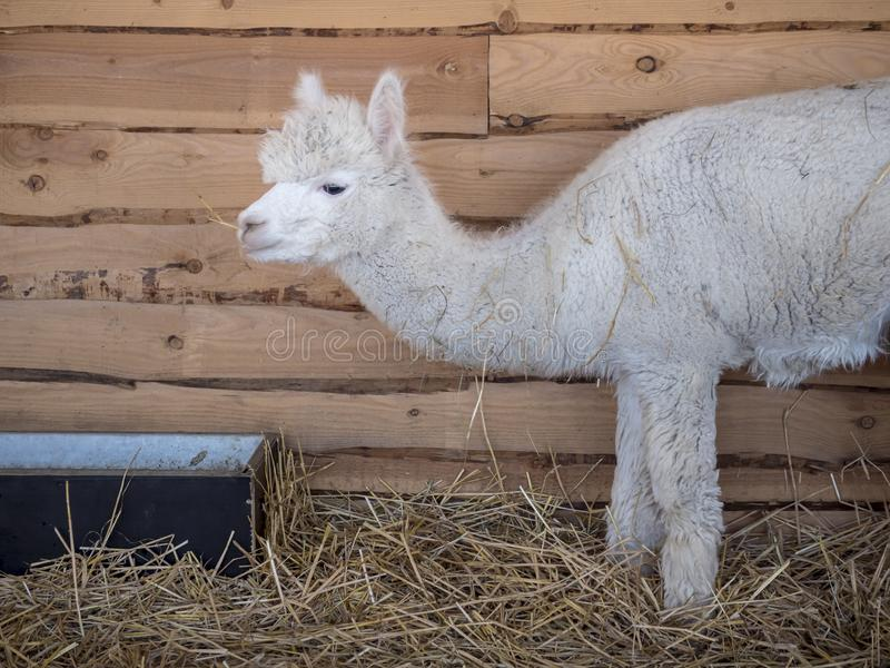 White alpaca is eating in a stable. White and woolly alpaca vicugna pacos is eating straw from a crib in a wooden shed. There is hay between his fur. is eating stock image