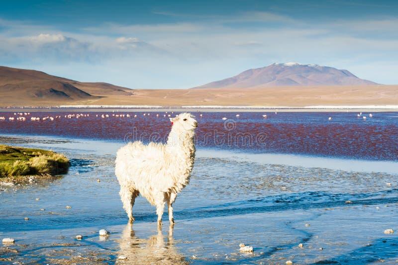 White alpaca on the Laguna Colorada, Altiplano, Bolivia. stock photos