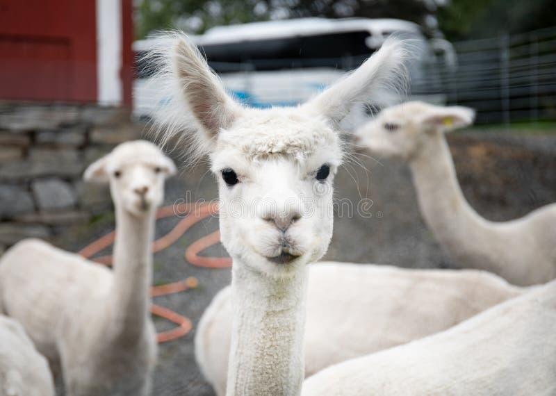 White alpaca lamb royalty free stock photography