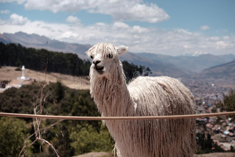 White alpaca standing in front of mountains and a city. An alpaca standing in fron of Cusco city and the andes mountains and forest royalty free stock photos