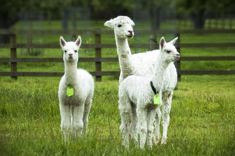 White alpacas, mother and crias. On the farm royalty free stock photo