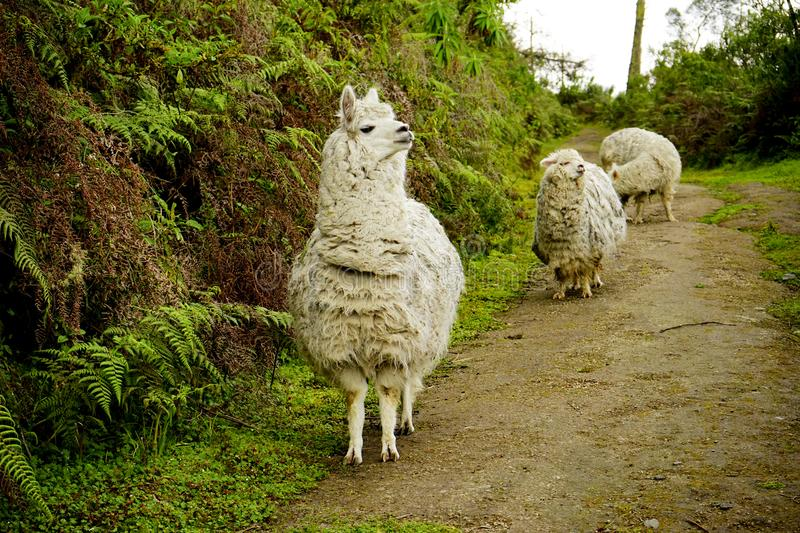 White Alpacas in a trio. A trio of white alpacas walking along a path in the Boliche National Park, located in the Cotopaxi Province of Ecuador stock photography