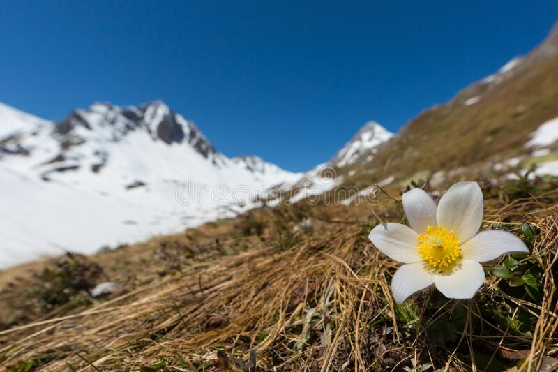 White alpine anemone pulsatilla alpina in bloom with snowcapped mountains. And blue sky royalty free stock image