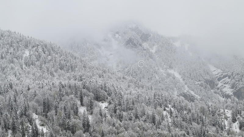 The white alpine forests in the snow. The alpine forests in the snow and fog stock image