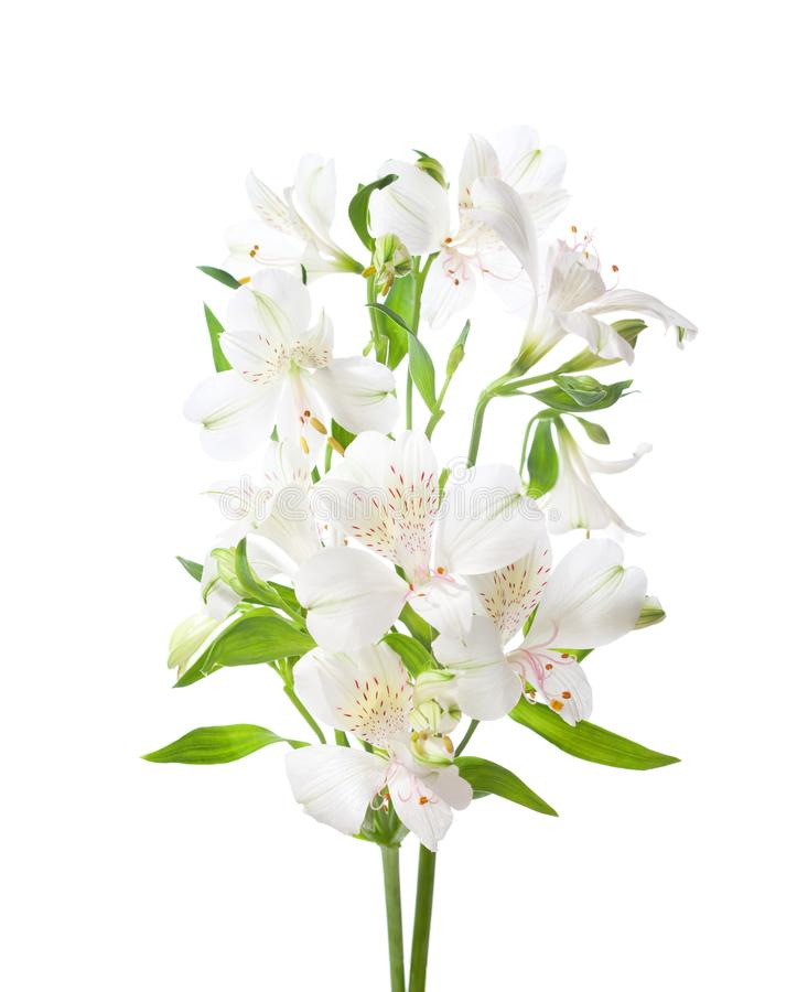 White alstroemeria flowers isolated on white background stock image download white alstroemeria flowers isolated on white background stock image image of color fragment mightylinksfo Gallery